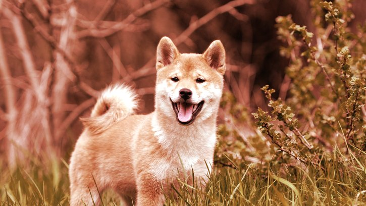 Coinbase Pro to Open Up Trading for Dogecoin Rival SHIB